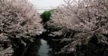京都も桜の季節です。