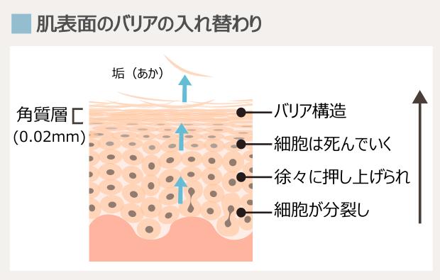 角質層の代謝の仕組み