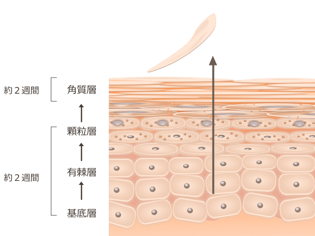 エステでは表皮ターンオーバーを正常に維持できない