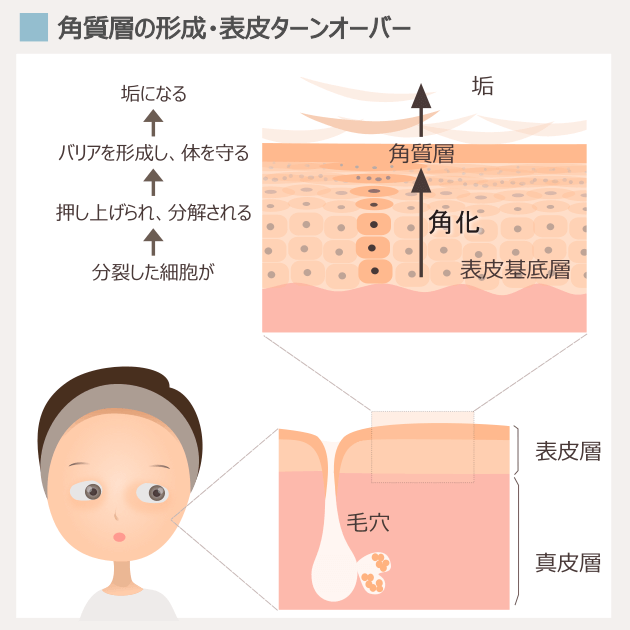 表皮ターンオーバーと角質層の構造