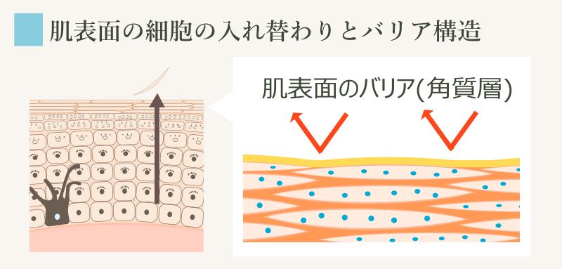 正常な角質層の形成過程と構造